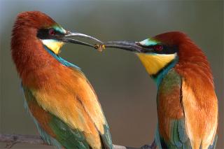 Dos pájaros comiendo una avispa